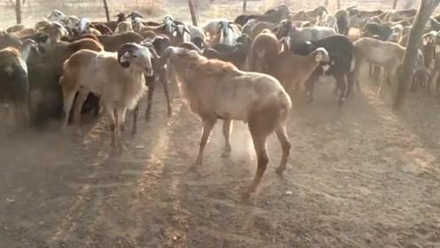 羊打架真绅士只撞头,撞击的声音那么响,脑瓜不疼吗