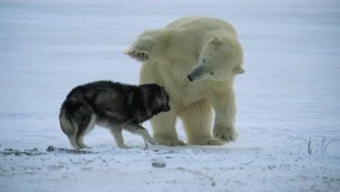 一只野狼遇到一头北极熊,大战一触即发,结果会是怎样