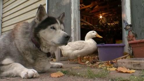 主人给二哈养了只鸭子陪伴,鸭子整天寸步不离的跟着二哈
