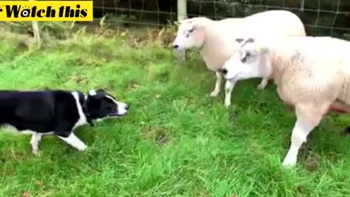 实拍牧羊犬工作过程 以一敌二好厉害的样子