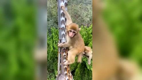 小猴子乱爬被扎得吱吱叫,网友:这就是下刀山!
