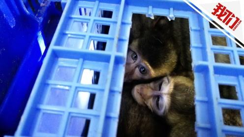 海关最大规模走私食蟹猴案告破:查证走私2735只 笼中猴眼神惹人怜