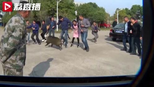 一头求生欲满满的野猪闯进工厂,一场围堵后:两人伤,野猪被击昏