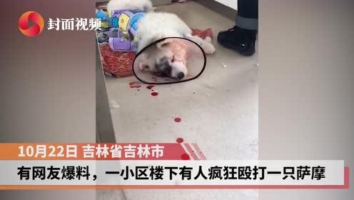 萨摩犬被主人打到满脸是血抛弃街边 只因在家没忍住大便