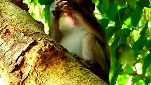 小猴子躲在树上吃东西,东张西望十分谨慎,生怕同伴来抢它的食物