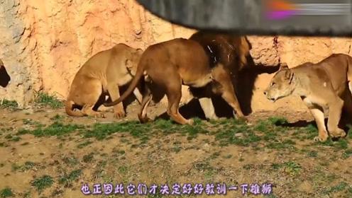狮子这是怎么了,被这么多母狮子欺负,真是看笑了!