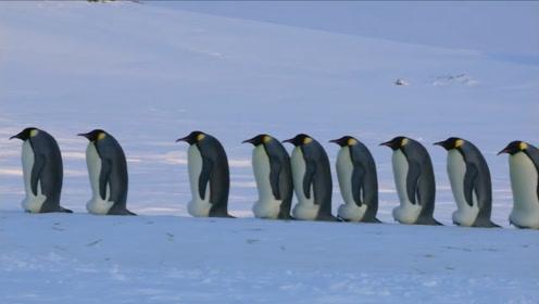 誉为攀岩高手的企鹅,不慎脚滑摔下崖石,企鹅:谁来搭把手救救我