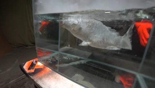 活鱼被放进液氮中,-196度的低温,鱼会死亡吗?