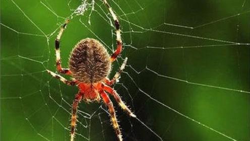 蜘蛛又不会飞,它的网怎么挂这么高?它的第一根丝是怎么搭的?