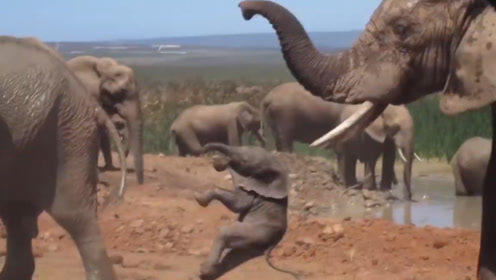 大象用鼻子将小象提起,重重的摔在了地上,镜头拍下全过程
