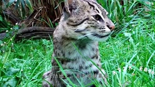 猫喜欢吃鱼又怕水怎办?有一种野猫,已进化为猫科最厉害游泳高手