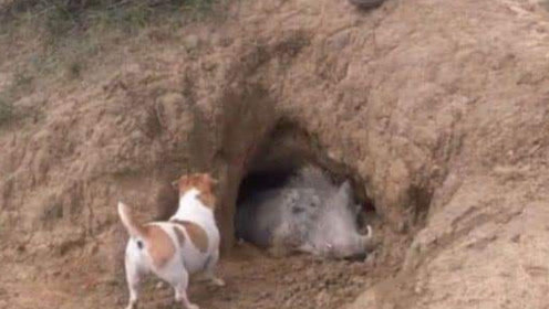 野猪临死前拼命堵住洞口,洞里有什么?拉出后猎人被吓一跳