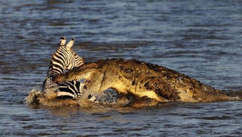 雄斑马河中惨遭凶鳄撕咬,肚肠外露挣扎上岸,伤心时一群恶鳄来临