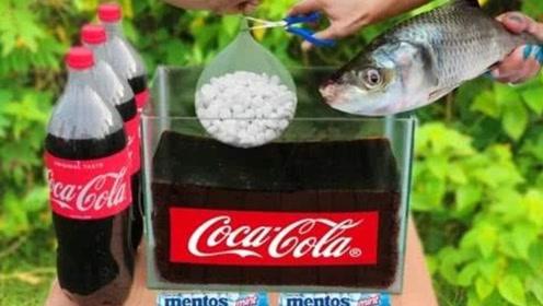 将生鱼放入可乐容器里,再加入曼妥思会怎样?心疼鱼儿