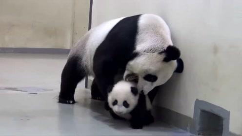 好奇的小熊猫不愿回到房间里去,被妈妈半叼半拖带走