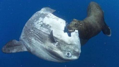 世界上最迟钝的鱼,身体被啃一半都反应不过来,却永远不绝种