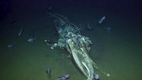"""美国研究员拍罕见""""鲸落"""" 鲸鱼死后可供养海底生物生存上百年"""