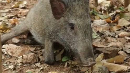 残疾野猪被大部队抛弃,被救助后竟然绝食?野猪:猪生没有了希望