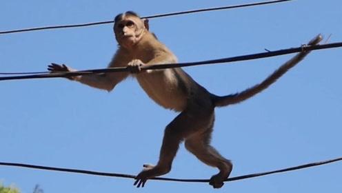 太惨!猴子爬上高压线,还潇洒来回翻滚,下一秒悲剧了!