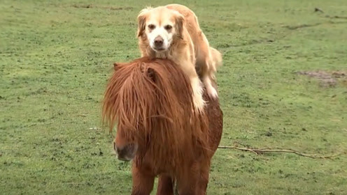 狗狗经常看到主人骑马,于是也去效仿,接下来的一幕笑翻众人