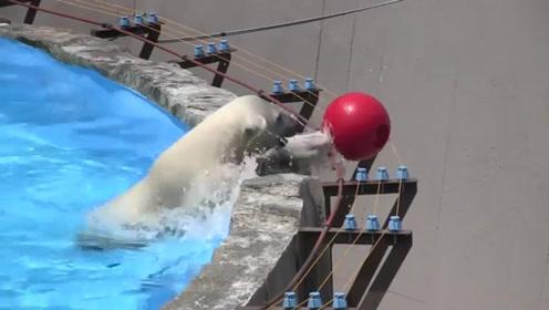 一只北极熊宝宝捡球被电,赶紧回家找妈妈,简直要被它萌化了