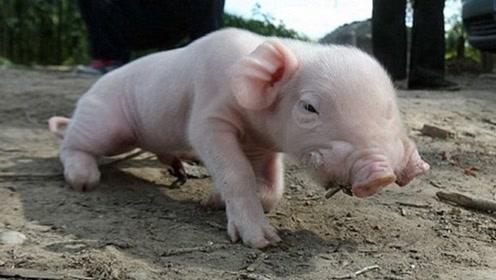 """大爷养了一头""""网红猪"""",土豪想花10万买走,大爷一律拒绝了"""