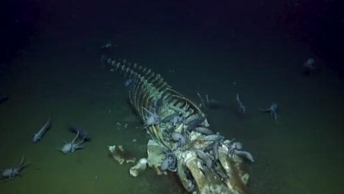 """美国发现罕见""""鲸落"""",一条鲸鱼沉尸海底,可供生物生存上百年!"""