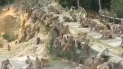 上百只猴子大战,原以为结局会很惨,不料最后太搞笑了
