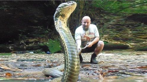 男子竟徒手捕捉剧毒眼镜王蛇,每个动作惊心动魄,看完吓出一身冷汗!