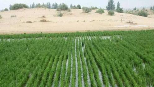 """央视传来大消息!新疆沙漠种植""""海水稻""""成功收割!真是太厉害了"""