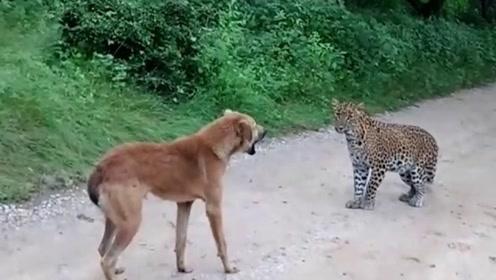 豹子准备偷袭狗子饱餐一顿,不料被狗狂骂1分钟,镜头拍下全过程