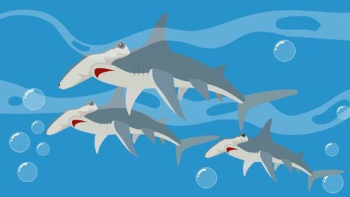 锤头鲨的两个眼睛离得那么远,它能看清东西吗?