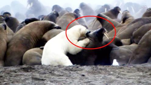 800斤北极熊饿急眼,攻击3吨重海象,镜头记录下全过程