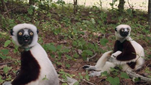 成年的冕狐猴会和幼年冕狐猴抢食,为何它们却很少受伤?