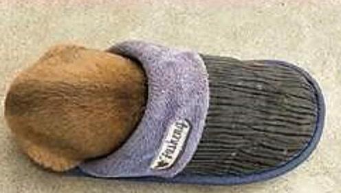 狗狗躲在拖鞋里睡觉,下一秒主人将拖鞋提起,狗狗的反应让人笑翻