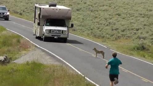 土狼好不容易发现了一只猎物,刚想过去意外发生了,只能眼睁睁的看着猎物走