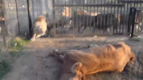 1只黄牛喂8只饿极了的狮子,打开笼子的那一刻,场面太壮观了