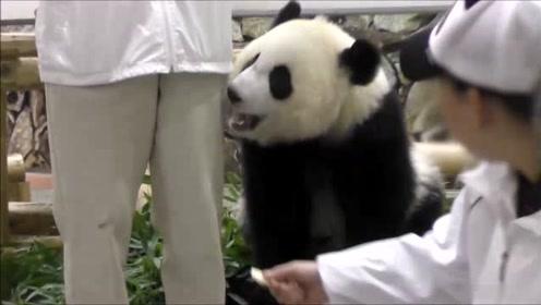 第一次见到吃东西这么斯文的熊猫,吃块苹果还掩一下嘴,感觉像豪门贵妇一样