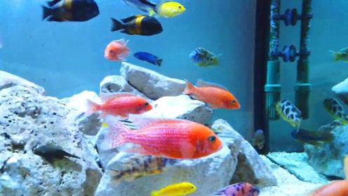 一缸各式各样的慈鲷鱼,群游起来赏心悦目!