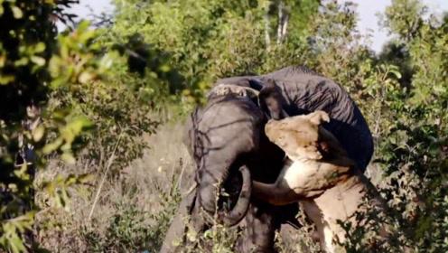 狮子一口咬住大象脸部,下一秒狮子可惨了,镜头拍下全过程