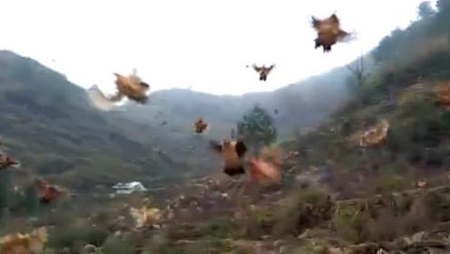 农场主一声令下, 2000只家鸡纷纷飞到山下,场面何其壮观!