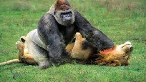 狮子饿昏头,竟然爬到树上抓狒狒!下一秒悲剧了