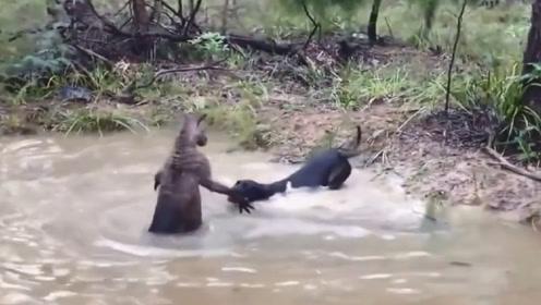 袋鼠被2条猎犬夹击,不料袋鼠突然发怒,镜头记录猎犬惨状!