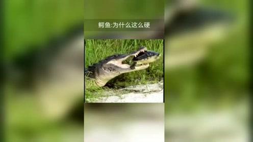 这乌龟太难吃了,鳄鱼牙很疼