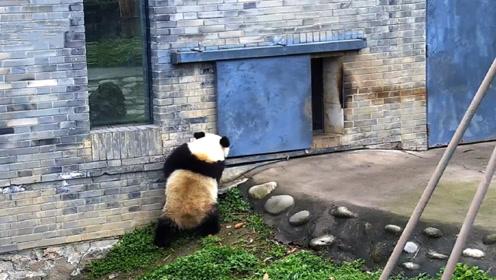 一听到奶爸喊下班了,大熊猫立马起来关门谢客,忍不住看了七八遍
