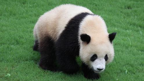 中国的大熊猫看起来脏被吐槽