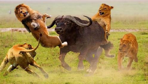 野牛被三只狮子围攻,下一秒上演反击大厮杀!镜头记录精彩全过程
