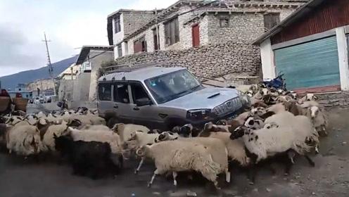 头晕不?羊群围绕小车转圈圈根本停不下来