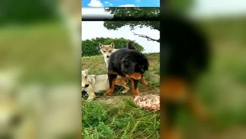 萌宠 动物间的丛林法则,谁强谁有理!