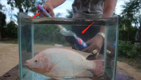 老外脑洞大开,用曼妥思做实验,鱼能在曼妥思和可乐中生活吗